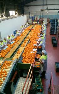 appelsiinien lajittelu